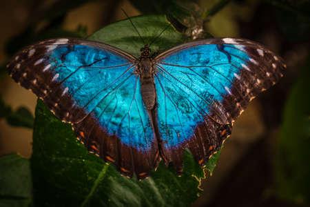 morpho menelaus: Peleides mariposa azul morfo tambi�n conocida como Morpho peleides Foto de archivo
