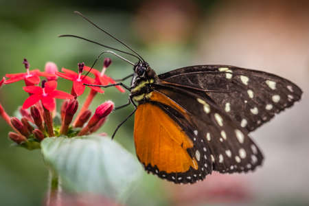 plexippus: Monarch butterfly also known as danaus plexippus