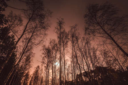 Tall birch trees during sunset, central Poland photo