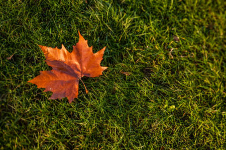 autumnn: Single fallen maple leaf on the lawn in autumn