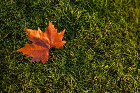 autumnn: Single fallen maple leaf on the lawn in autumn