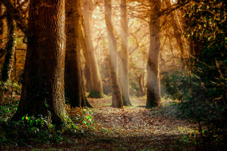 south west england: Sun-rays in the forest in South West England Stock Photo