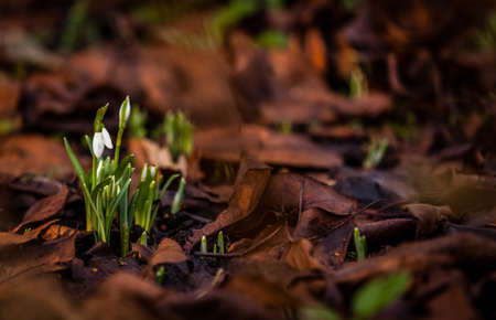 pendent: Snowdrops ( Galanthus nivalis ) - an early flowering bulbous plant, having a white pendent flower