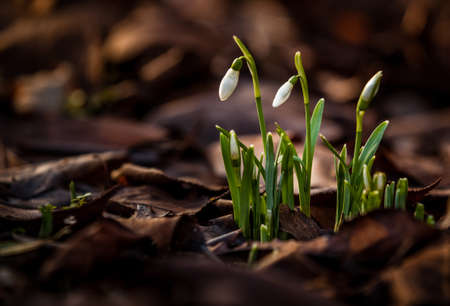 galanthus: Snowdrops ( Galanthus nivalis ) - an early flowering bulbous plant, having a white pendent flower