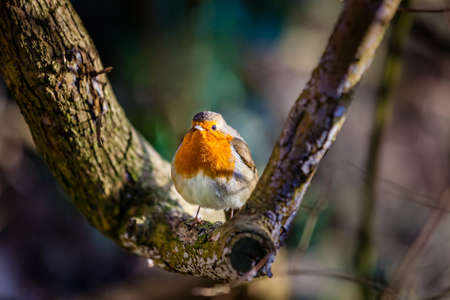 redbreast: Small robin bird sitting on the branch of a tree