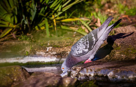 thirsty bird: Pigeon drinking water from a tiny pond in a park in spring Stock Photo