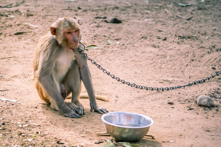 chained: Small monkey chained to the pole in Rajasthan in India Stock Photo