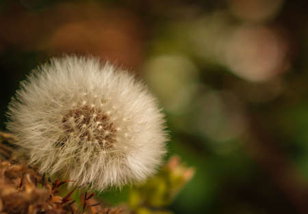 Macro shot of Dandelion flower with a green background photo