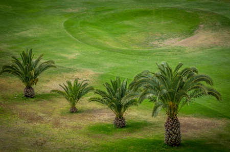 palmtrees: Palmtrees growing on the golf course in Gran Canaria