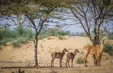 plains indian: Herd of wild antelopes on the desert in Rajasthan India
