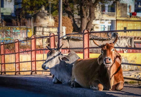 bullock animal: Two holy cows sitting on a bridge in Udaipur  Rajasthan India Stock Photo
