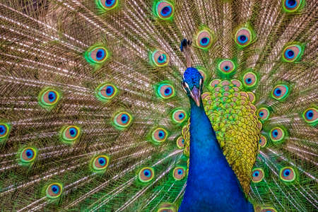 primp: Beautiful peacock presenting his colourful tail wide open
