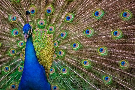 showy: Beautiful peacock presenting his colourful tail wide open