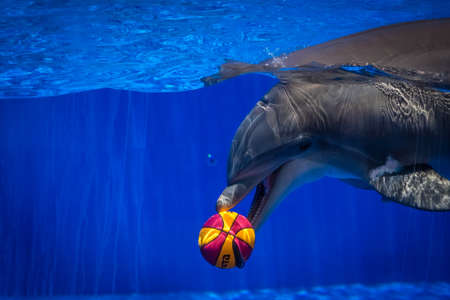 perform: Dolphin with a ball he caught during show in seaworld park