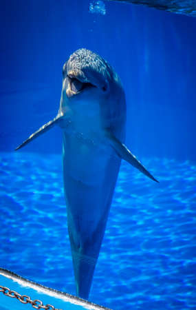 perform: Curious cute dolphin in a pool in an adventure park