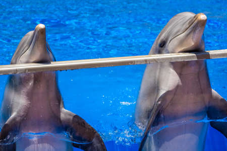 fish exhibition: Two cute dolphins in a pool in an adventure park Stock Photo