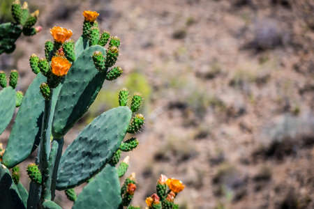 spikey: Large cactuses flowering photographed in Gran Canaria Canary Islands Spain Stock Photo