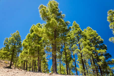 unpretentious: Tall pine trees on the slopes of a mountain in Gran Canaria Spain