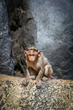 Wild macaque monkey on the rock in Hampi in India photo
