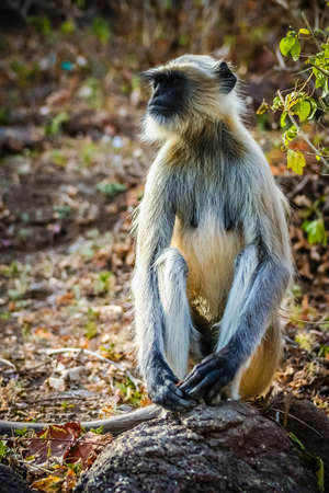 A wild langur monkey sitting on a rock in a national park in India photo