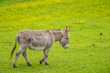 Furry donkey on a meadow on a farm photo