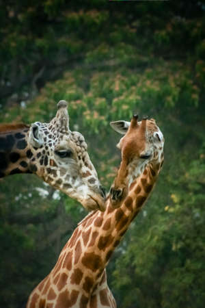 touching noses: Two African giraffes mating Mysore India Stock Photo