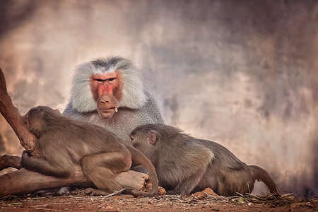 mysore: Male and two female baboons in the zoo in Mysore India