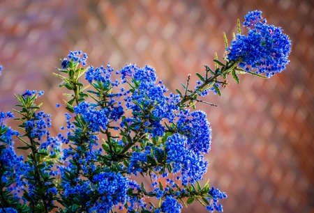 chaparral: Beautiful rare blue ceanothus flower in spring Stock Photo