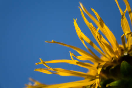 helianthus: Close up of a dying sunflower  Helianthus Stock Photo