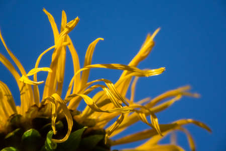 dying: Close up of a dying sunflower  Helianthus Stock Photo