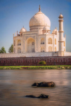 wade: Buffallos taking a bath in a river in front of Taj Mahal - mausoleum at Agra in northern India Stock Photo