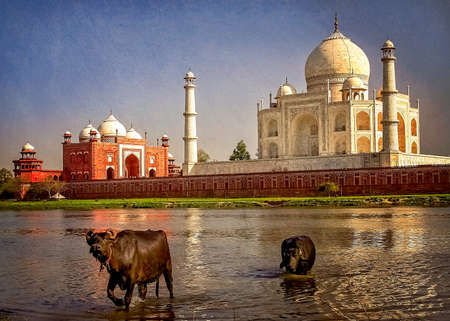 shah: Buffallos taking a bath in a river in front of Taj Mahal - mausoleum at Agra in northern India Stock Photo