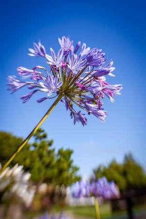 allium flower: Purple allium flower also known wild garlic, broad-leaved garlic, wood garlic, bear leek or bears garlic