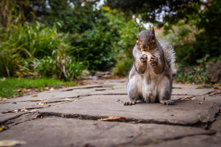 devouring: Close up of a grey squirrel eating a nut Stock Photo