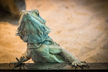 bearded dragon lizard: Bearded Dragon lizard looking throgh the cage window in a zoo Stock Photo