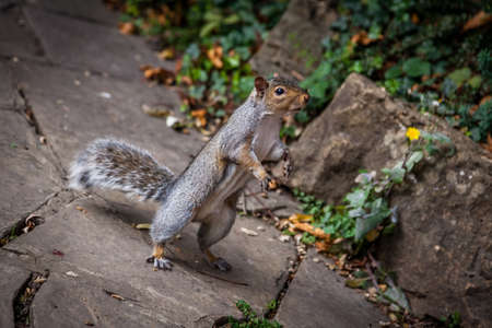 awaiting: Close up of a grey squirrel on a ground awaiting nut Stock Photo
