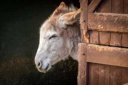 eras: Furry donkey in a barn on a farm