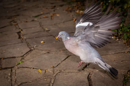 pidgeon: Pigeon about to take off from the ground Stock Photo