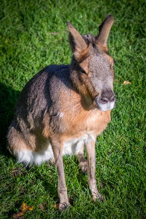 and diurnal: Wild Patagonian Mara, Dolichotis patagonum, sitting on a grass in the zoo