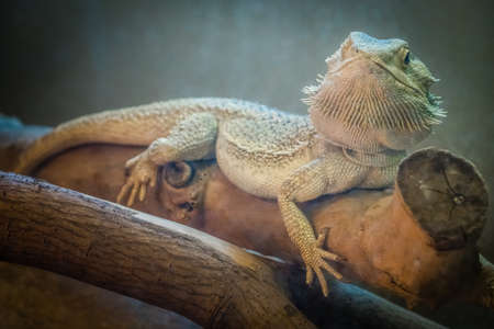 bearded dragon lizard: Bearded Dragon lizard sitting on a branch in a cage in the zoo Stock Photo