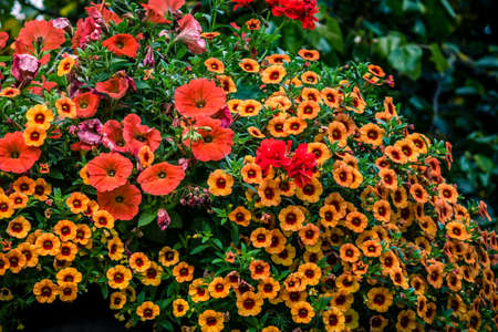 red centre: Red and orange primrose and petunia flowers in a park in Bristol city centre