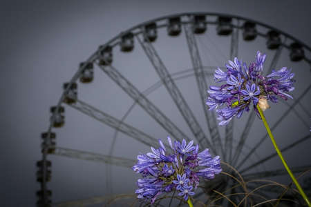 two wheel: Two flowers in front of the English Riviera Wheel in Torquay, Devon, England