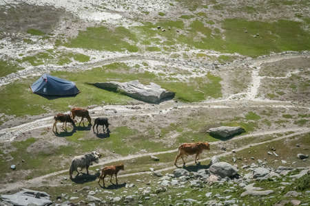 pitched: Cows walking on a meadow next to the tent pitched on  at Nanga Parbat base camp