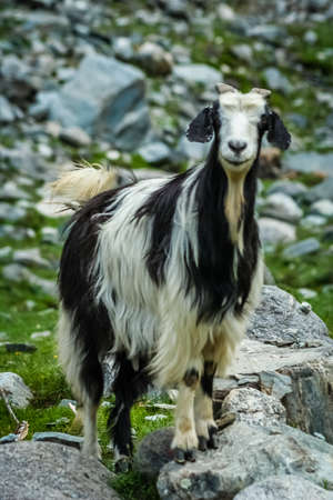 Black and white goat standing on a rock in a mountain valley