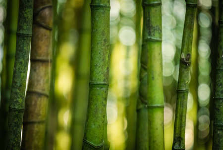 canto: Bamboo forest in José do Canto Botanical Garden in Ponta Delgada, Sao Miguel island, Azores, Portugal