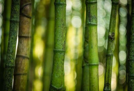 canto: Bamboo forest in Jos� do Canto Botanical Garden in Ponta Delgada, Sao Miguel island, Azores, Portugal