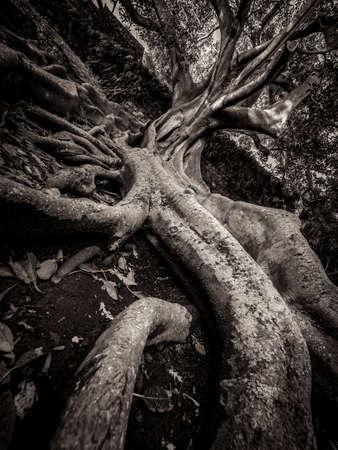 canto: Giant roots of a tree in the Jos� do Canto Botanical Garden in Ponta Delgada, Sao Miguel island, Azores, Portugal