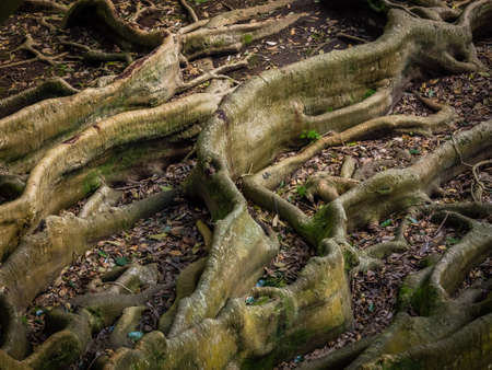 canto: Giant roots of a tree in the Jos� do Canto Botanical Garden in Ponta Delgada, Sao Miguel island, Azores, Portugal