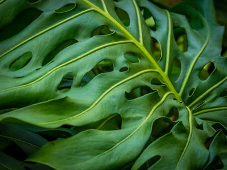 palm lined: Close up of the Monstera leaf in the Terra Nostra Garden in Furnas,  on Sao Miguel island, Azores, Portugal