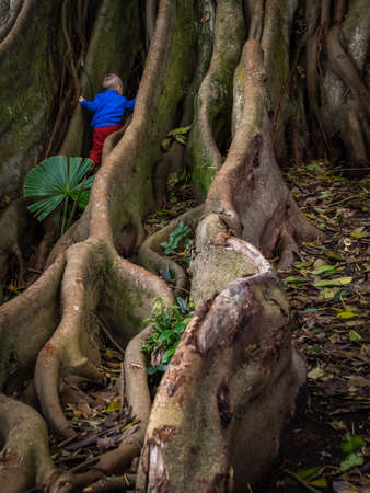 climbing fig: Little boy climbing the giant roots of a fig tree in the Jos� do Canto Botanical Garden in Ponta Delgada, Sao Miguel island, Azores, Portugal Stock Photo